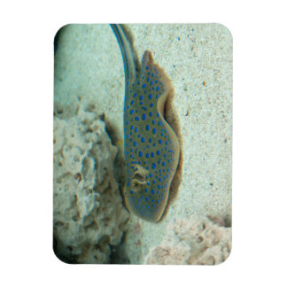 Stingray Blue Magnet