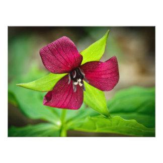 Stinking Benjamin Red Trillium Wildflower Photo Print