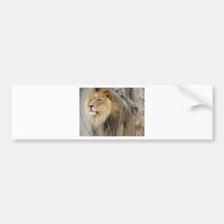 Stoic Lion Looking Off into the Distance Bumper Sticker