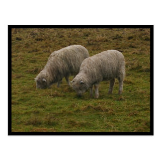 Stonehenge Sheep Postcard