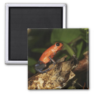 Strawberry Poison-dart frog (Dendrobates 2 Square Magnet