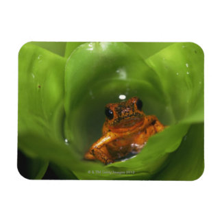 Strawberry poison frog hiding in leaves rectangular photo magnet