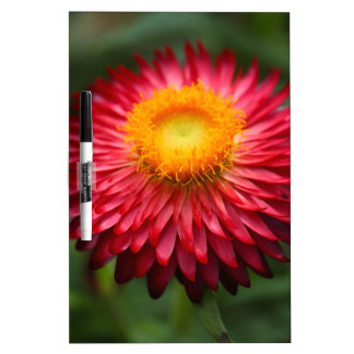 Strawflower (Xerochrysum bracteatum) Dry Erase Board