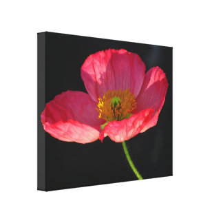 Stretched Canvas Print - Pink Corn Poppy