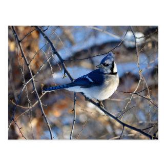 Striking Blue Jay Postcard