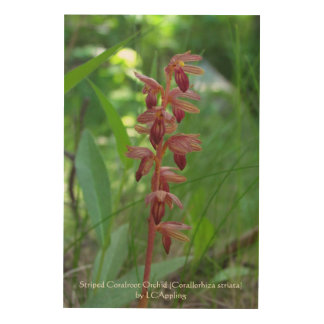 """Striped Coralroot Orchid 24""""x36"""" Wood Wall Art"""