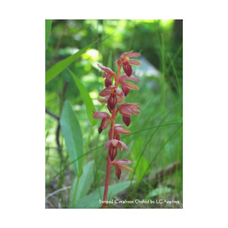 "Striped Coralroot Orchid Canvas 16"" x 20"""