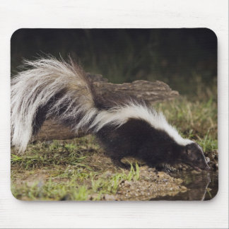Striped Skunk, Mephitis mephitis, adult at 2 Mouse Pad