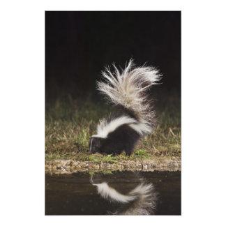 Striped Skunk, Mephitis mephitis, adult at Photo