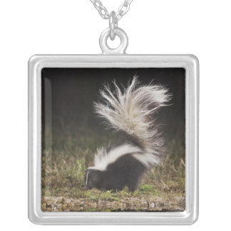 Striped Skunk, Mephitis mephitis, adult at Square Pendant Necklace