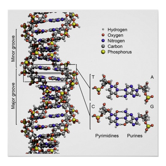 Structure Of Dna Deoxyribonucleic Acid Diagram Poster