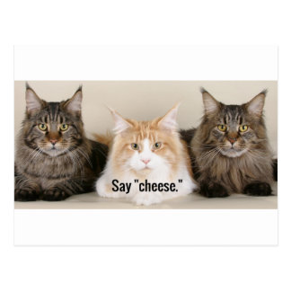 "Studio Photo - 3 Cats Saying ""Cheese"" Postcard"