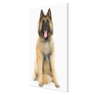 Studio portrait of Belgian shepherd dog Gallery Wrap Canvas