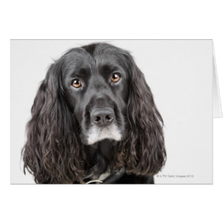 Studio portrait of cocker spaniel card