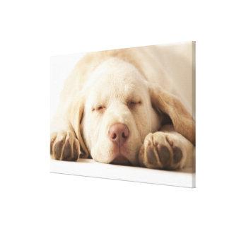 Studio portrait of Yellow Labrador Retriever Gallery Wrap Canvas