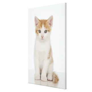 Studio shot of kitten canvas prints