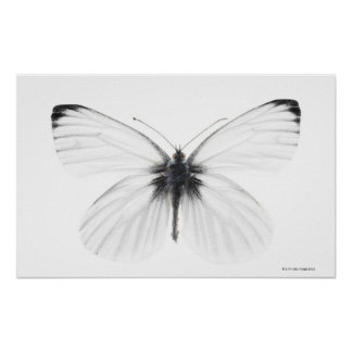 Studio shot of sharp-veined white butterfly poster