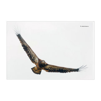 Stunning Bald Eagle Does a Flyover Acrylic Wall Art