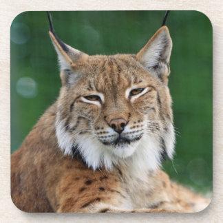 Stunning bobcat portrait coaster