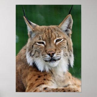 Stunning bobcat portrait poster