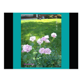 Stunning Lavendar Roses Postcard