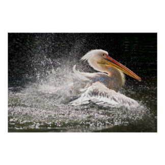 Stunning pelican in water poster