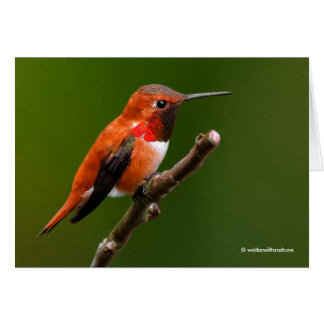 Stunning Rufous Hummingbird on the Cherry Tree Card