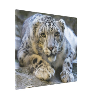Stunning snow-leopard portrait canvas print