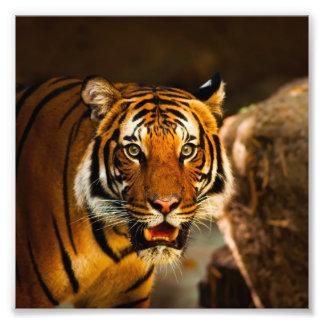 Stunning tiger portrait photo print