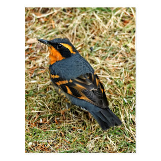 Stunning Varied Thrush on the Lawn Postcard