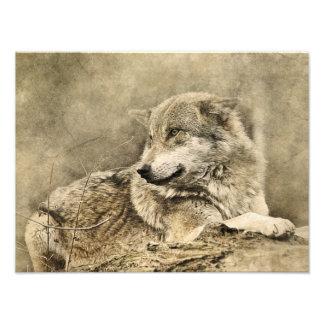 Stunning vintage wolf lying down photo print