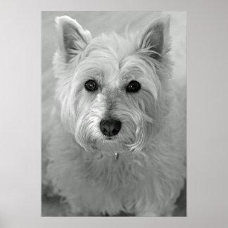 Stunning West Highland Terrier Dog (Westie) Poster