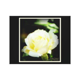 Stunning White Rose Canvas Print