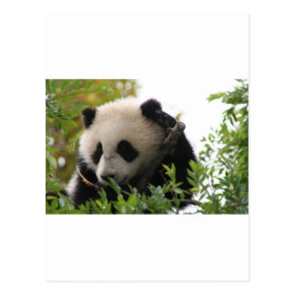 Su Lin, giant panda bear cub at the San Diego Zoo Postcard