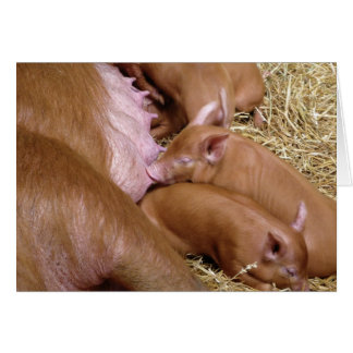 Suckling Tamworth Piglet Photograph - Blank Cards