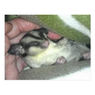 Sugar Glider Sleeping in Blanket Postcard