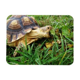 Sulcata Tortoise Mouth Open Taking Bite of Grass Magnet