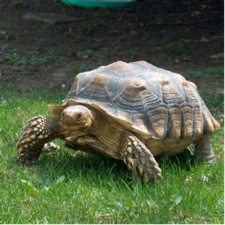 Sulcata Tortoises Standing Photo Sculpture