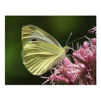 Sulphur Butterfly Post Card
