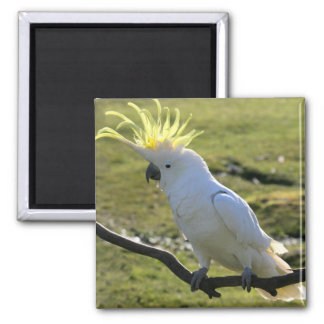 Sulphur-Crested Cockatoo in Australia Square Magnet