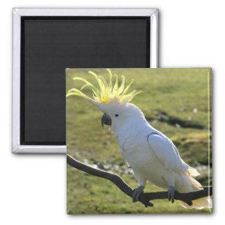 Sulphur-Crested Cockatoo in Australia Square Magnet
