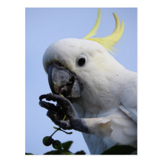 Sulphur-Crested Cockatoo Postcard