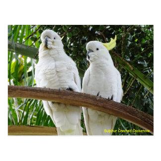 Sulphur Crested Cockatoos Postcard