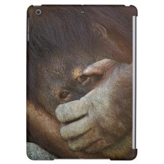 Sumatran Orangutan, Pongo pygmaeus