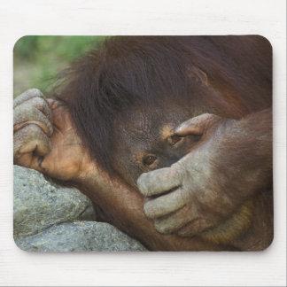 Sumatran Orangutan, Pongo pygmaeus Mouse Pad