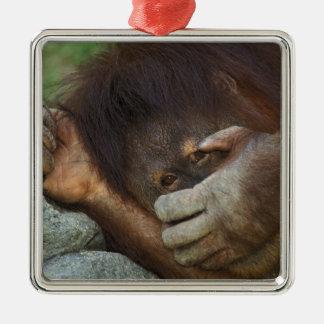 Sumatran Orangutan, Pongo pygmaeus Silver-Colored Square Decoration