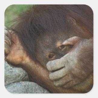 Sumatran Orangutan, Pongo pygmaeus Square Sticker