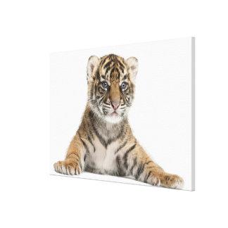 Sumatran Tiger cub 2 Stretched Canvas Prints