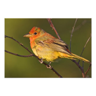 Summer Tanager Piranga rubra) young male Photo Print