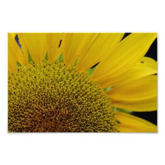 Sun Flower Photo